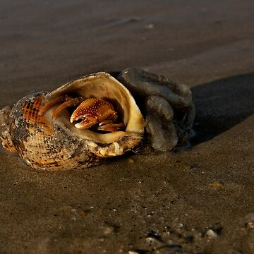Hermit Crab on Fahan Beach by VeryIreland