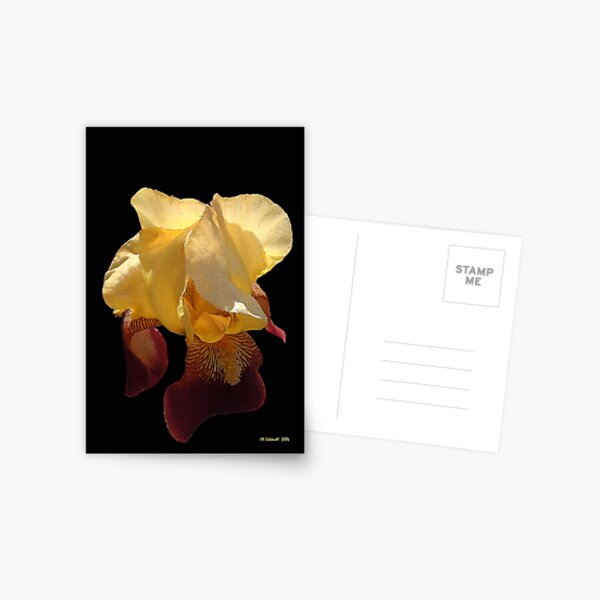 Translucent Iris Postcard