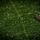Hopper on Green leaf Leith Park Victoria 20170510 0378  by Fred Mitchell