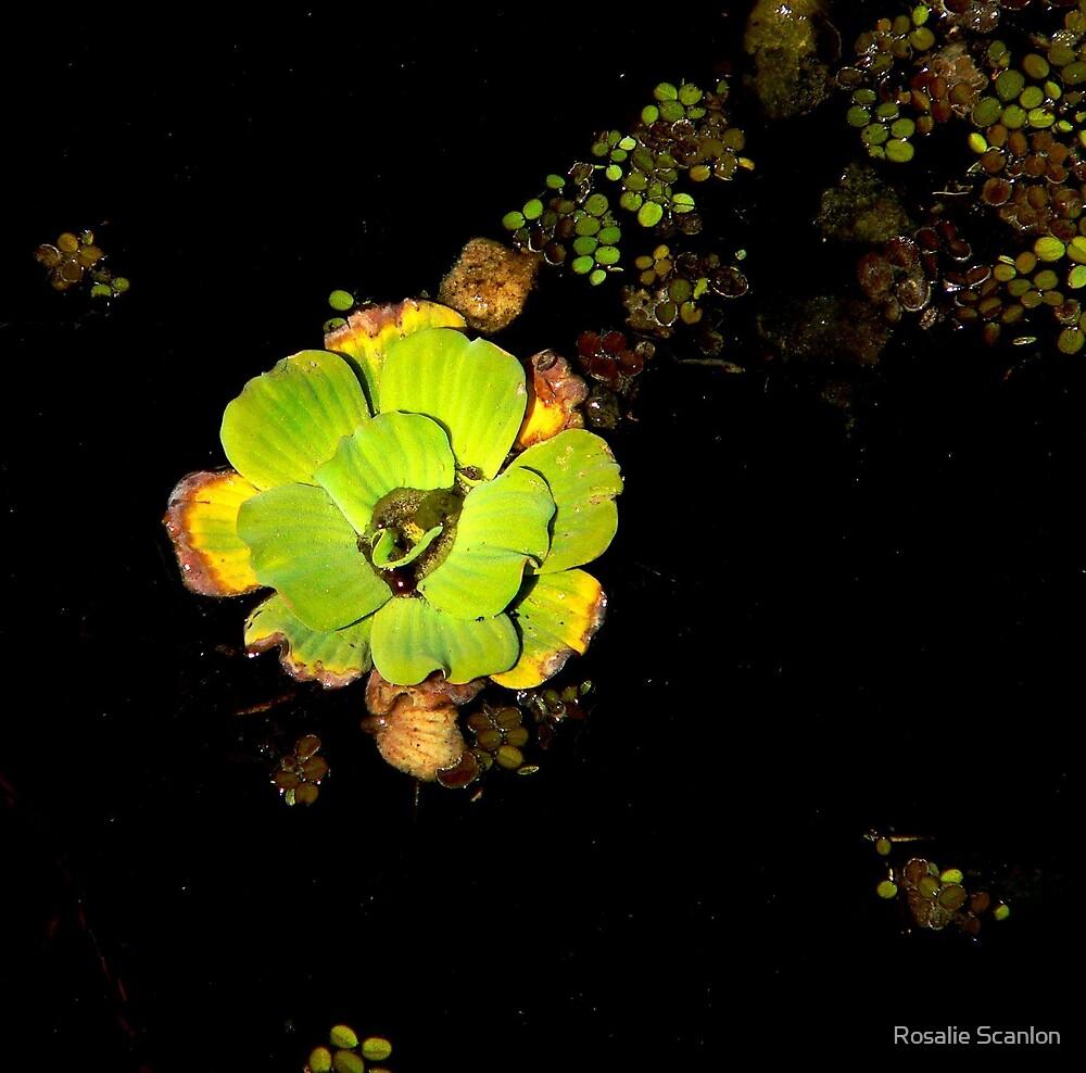 Lettuce on Lettuce Lake by Rosalie Scanlon