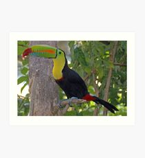 Keel Billed Toucan Art Print