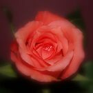 ROSES 2 by KeepsakesPhotography Michael Rowley