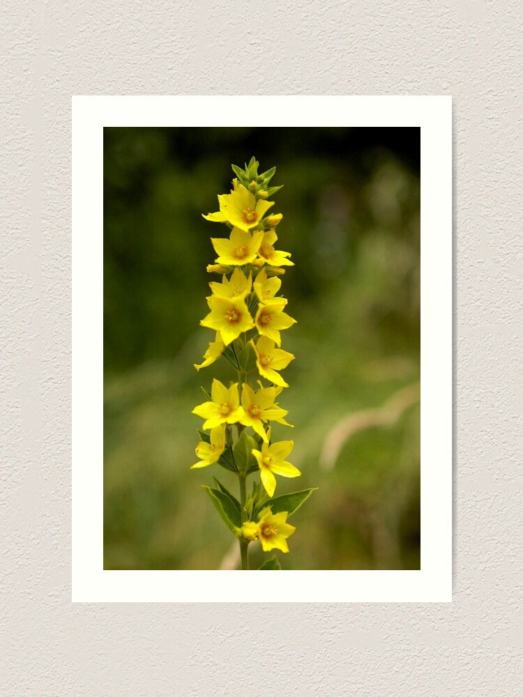 Alternate view of Dotted Yellow Loostrife, Muckross Head, Donegal Art Print