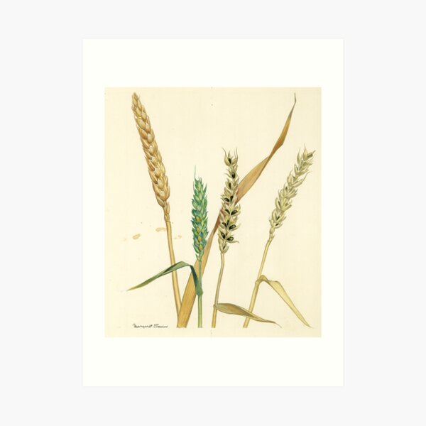 Bunt of Wheat Art Print