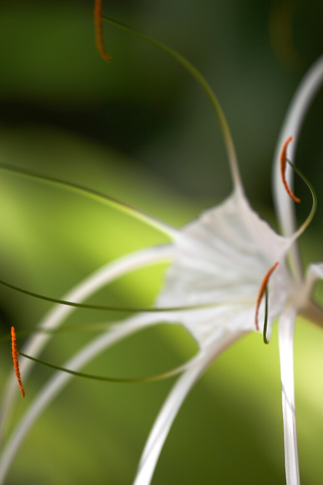 Spider flower by Amber Parsons