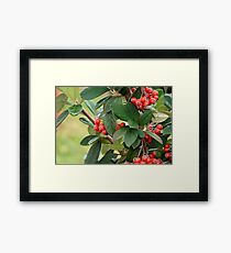 Red berries on a bush with green leafs background  Framed Print