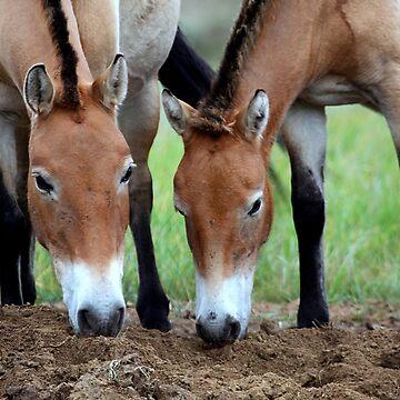 Przewalski's Horses, Mongolia by Carole-Anne