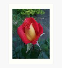 Rose Bud ..Red and Yellow Petals Art Print