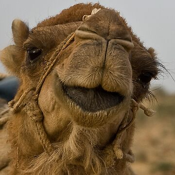 Camel close-up by Scully