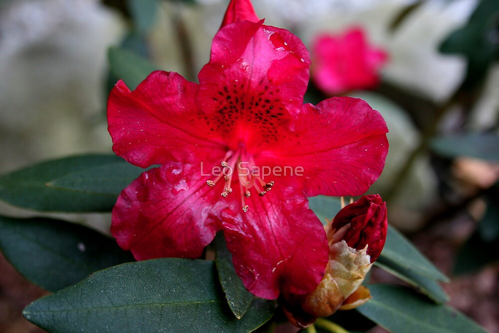 Red Rhododendron by Leo Sapene