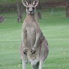 Kangaroo by David Thompson