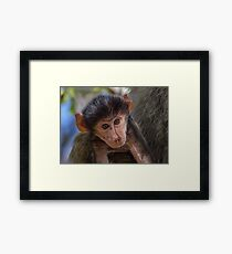 Baby Chacma Baboon Framed Print