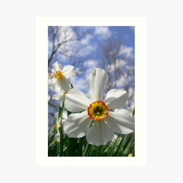 Poet's Daffodil Art Print