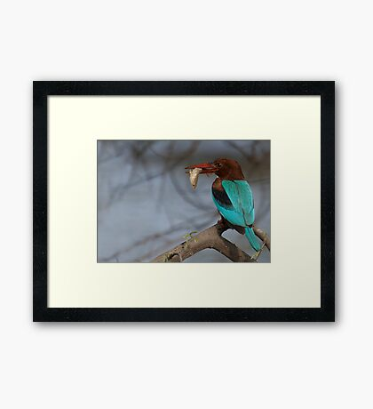 White Breasted Kingfisher Framed Print
