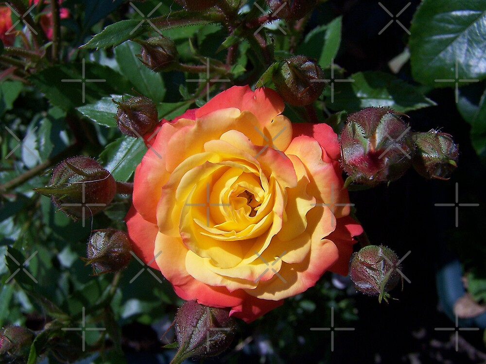 The rose called Rumba by LoneAngel
