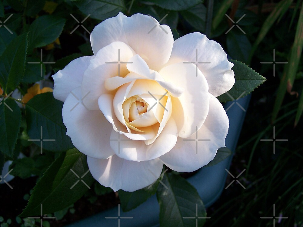 The white rose by LoneAngel