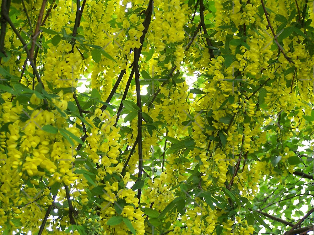 Yellow Profusion by LoneAngel