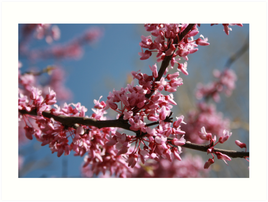 Pink Blossoms by KBdigital
