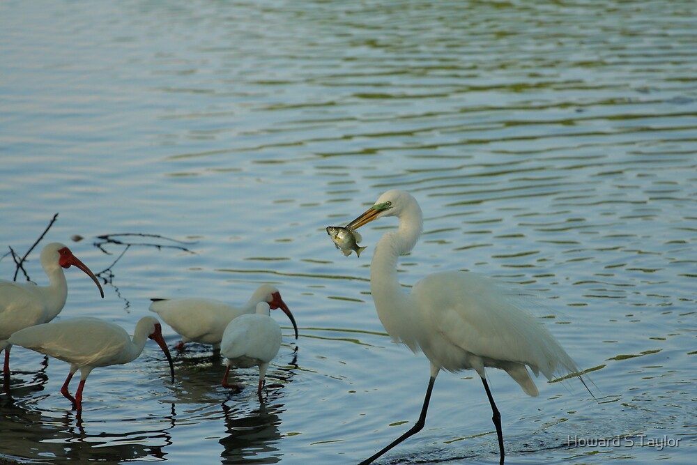 GREAT EGRET EATING A FISH by Howard S Taylor