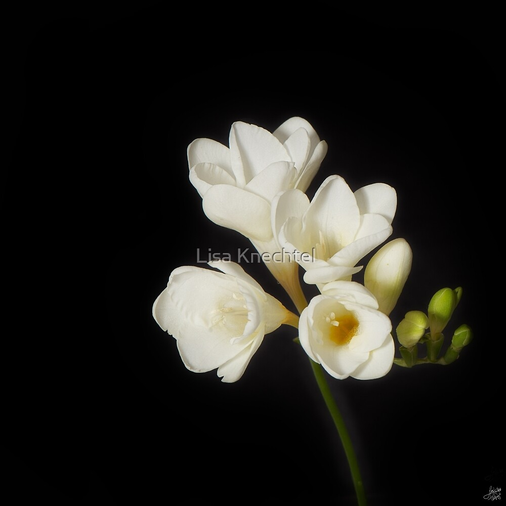 Purity: A White on Black Floral Study by Lisa Knechtel