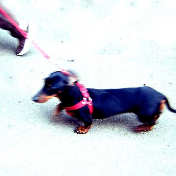 dachshund walk by ecrimaga