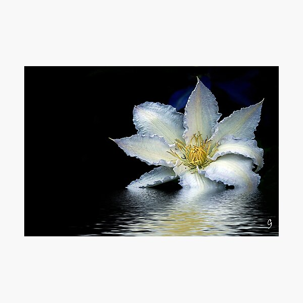Gladys Picard - Clematis Photographic Print