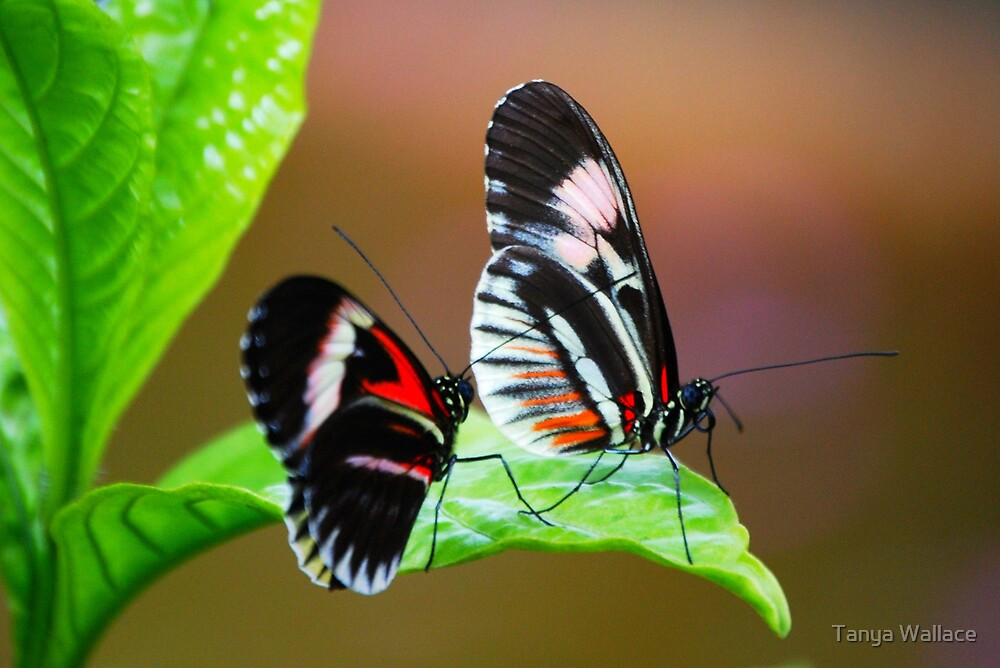 butterfly conversations by Tanya Wallace