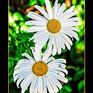 two daisies by Lenore Locken