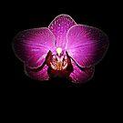 Purple Orchid on Black by hummingbirds