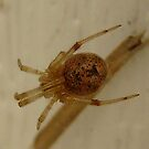 Brown House Spider by William Burns