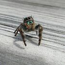 Jumping Spider by William Burns