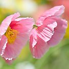Pink Poppies by Glenda Williams