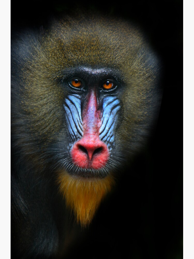 Mandrill by Durberville