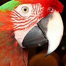 A Beautiful Harlequin Macaw Portrait by taiche