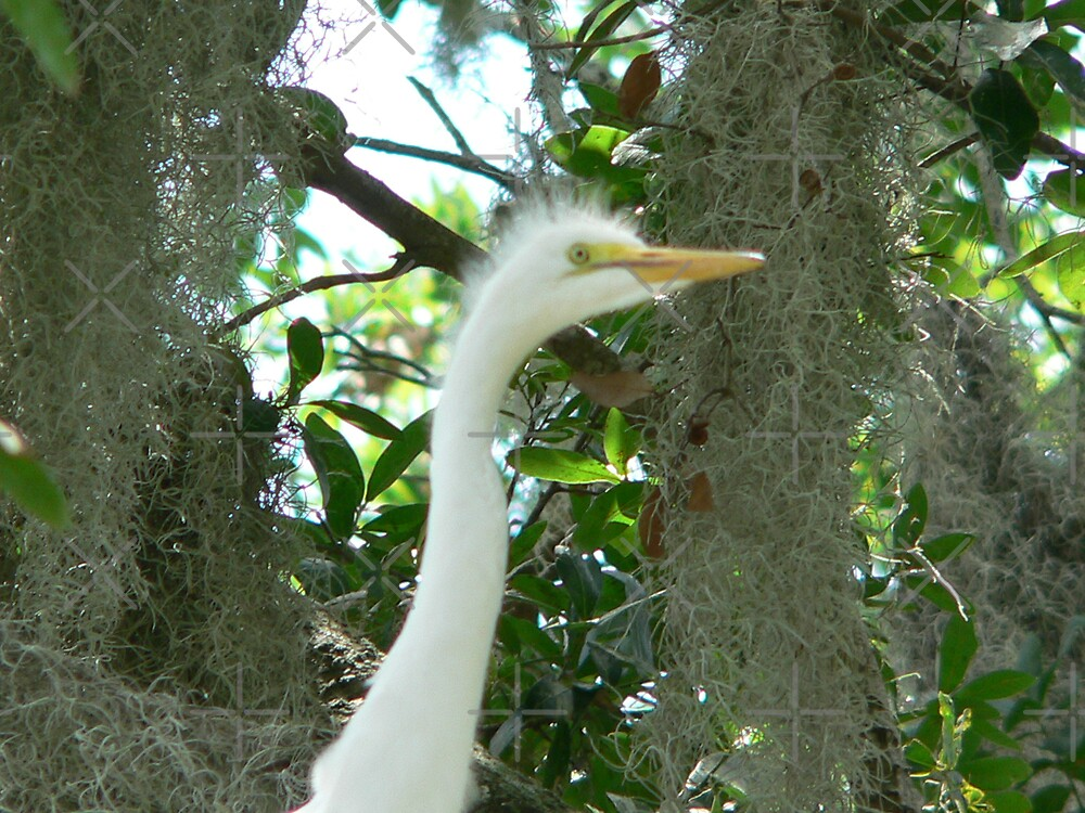 Baby Great Egret 3 by kevint