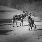 Couple of  Cape Hunting Wild Dogs Looking on by Richard Shakenovsky