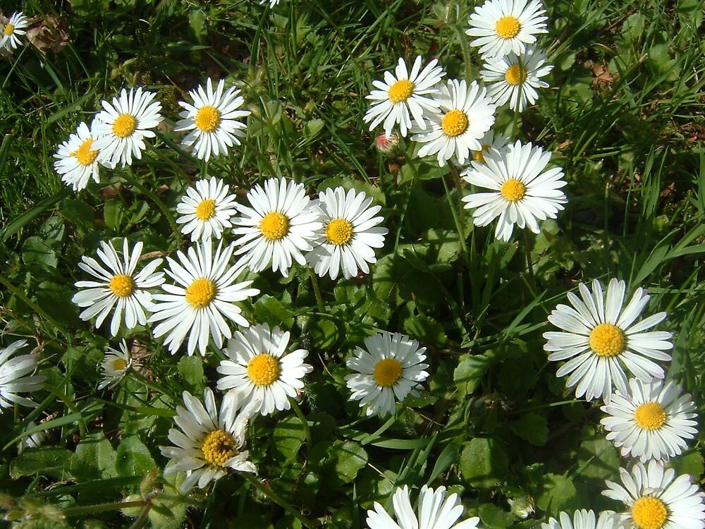 daisy by MelanieB