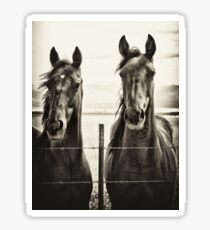 Yearlings on a prairie Sticker