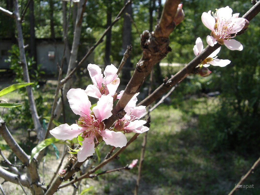 Peach Blossoms by librapat