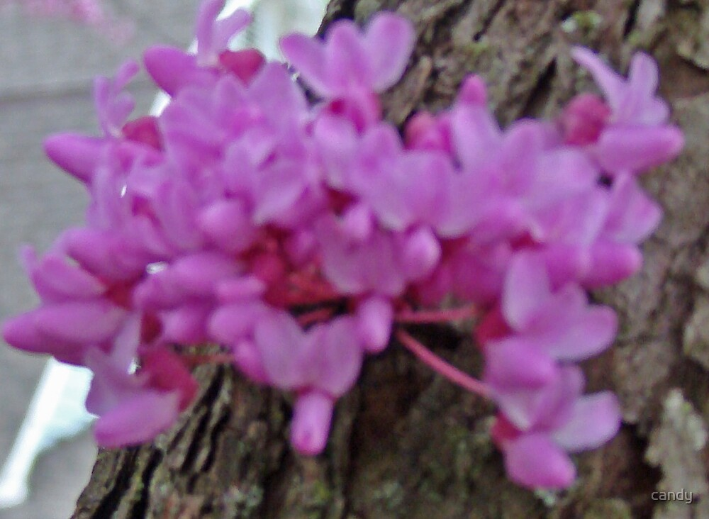 Red Bud in Bloom by candy