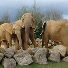 Elephants by zaphos