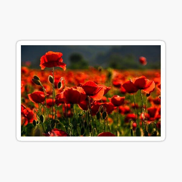 poppy flowers field at sunset Sticker