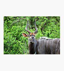 NYALA - Tragelaphus angasii Photographic Print
