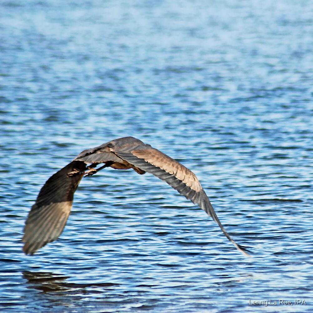 juvenile Great Blue Heron by Lenny La Rue, IPA