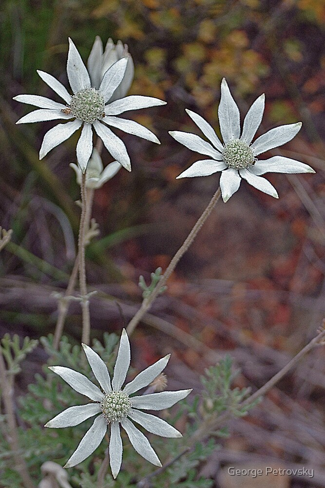 Flannel Flowers at Thirlmere by George Petrovsky