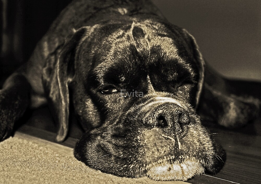 I see you...........  -Boxer Dogs Series- by Evita