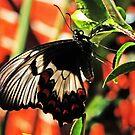 Ein Schmetterling in meinem Garten von Evita