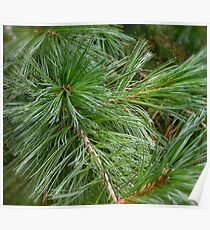 Limber Pines Poster