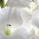 White Glads by Nancy Polanski