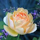 David Austin Rose - Jude the Obscure - Englische Rose by Martina Cross